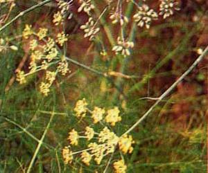 tanaman adas